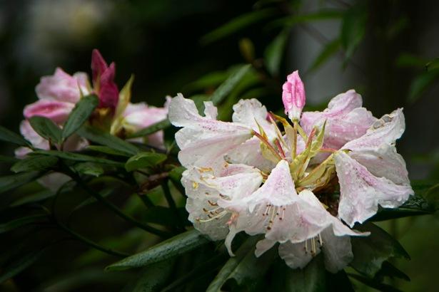 a TK Sakura 014