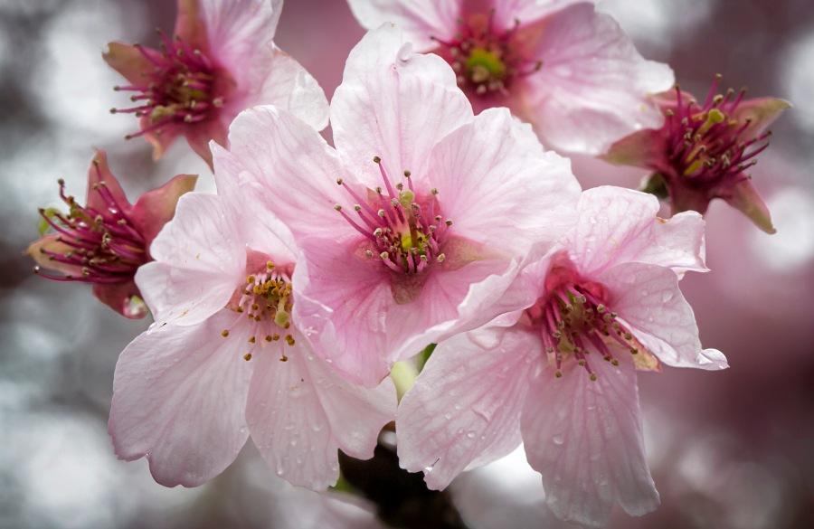 a TK Sakura 022