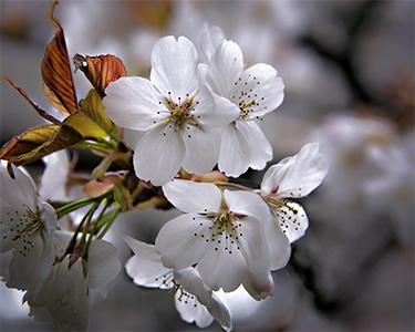 Sakura-Crop