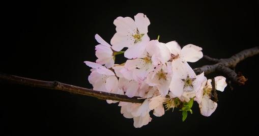 a DC-Sakura-03